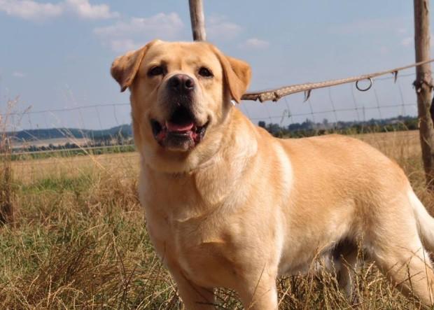 Labrador Puf – šokující chování lidí, které odnesl pejsek!
